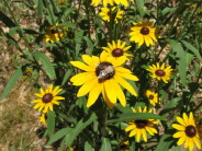 Black-eyed Susans do well in our restored prairie plots.  They bloom in late-June and July.