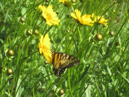 Tiger swallowtail butterfly feeding on a coreopsis on a restored prairie at Rainbow Bay Resort, June, 2017.