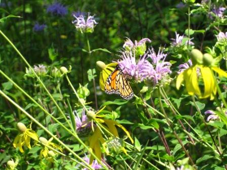 A monarch butterfly is feeding on a bergamot.