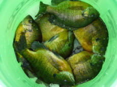 A bucket of bluegills caught on Rice Lake, February 2008.  Photo by Bryan A.