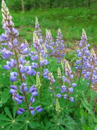 Wild lupine, perhaps my favorite wild flower, grows on our restored prairie plots.  This was near our road, June, 2007.